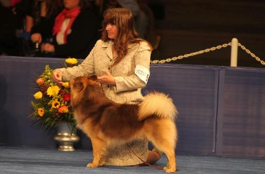 The AKC's # 24 Icelandic Sheepdog for 2014. The AKC's #7 Icelandic Sheepdog in 2013. UKC- Reserve Best in Show May 2012. The UKC's #3 Icelandic Sheepdog ...
